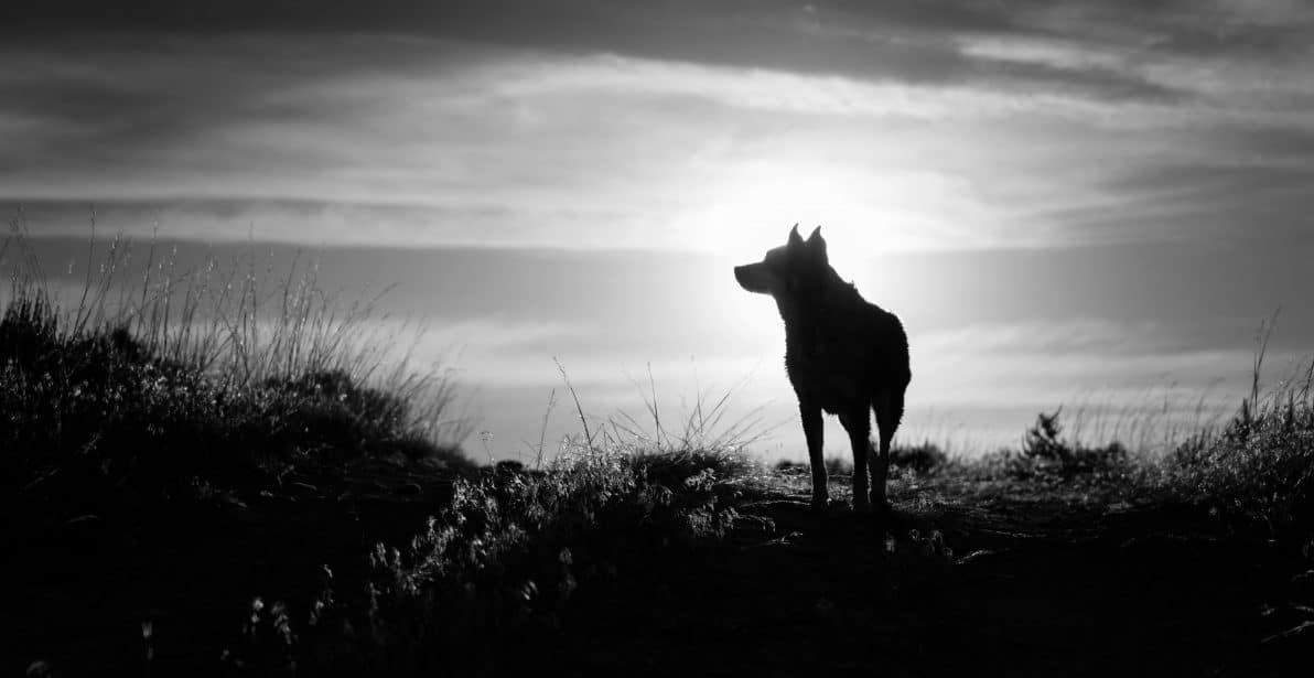 wolf-pack-pack digital